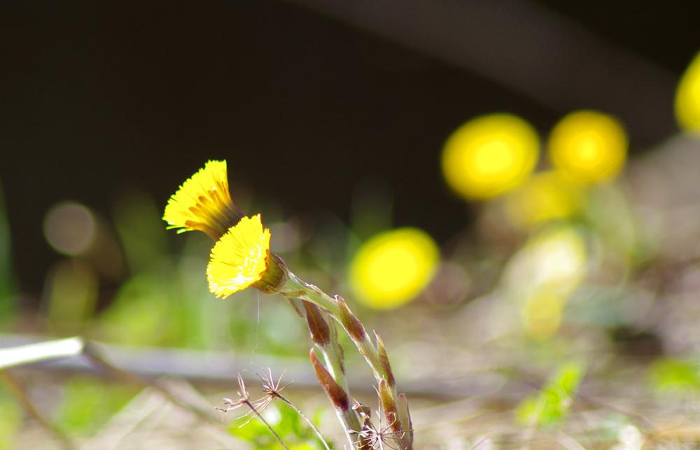 Vielä kukkii leskenlehti