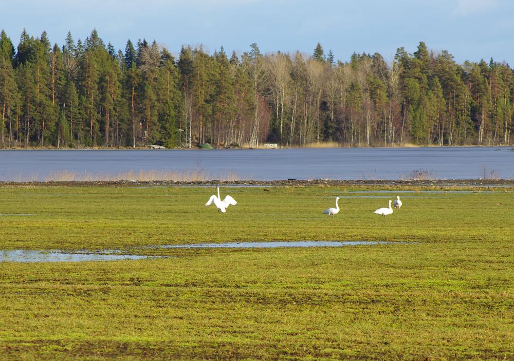 Laulujoutsenet, Heinijärvi, Tammela  (8.3.)