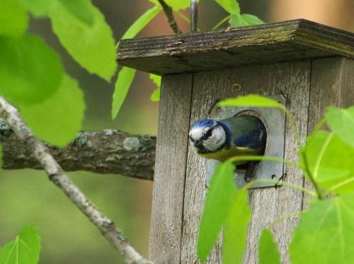 Kuules kirjosieppo, täällä asun nyt minä sinitiainen!