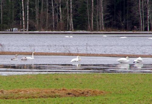 Laulujoutsenet, Kytäjoen tulva-alue