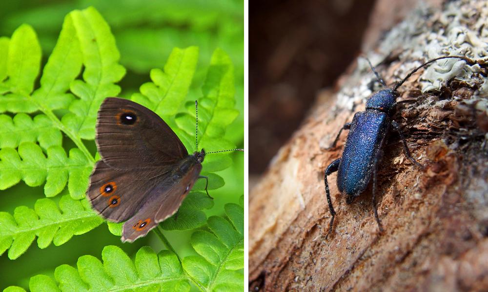 Pihan hyönteisiä: papurikko ja papintappaja