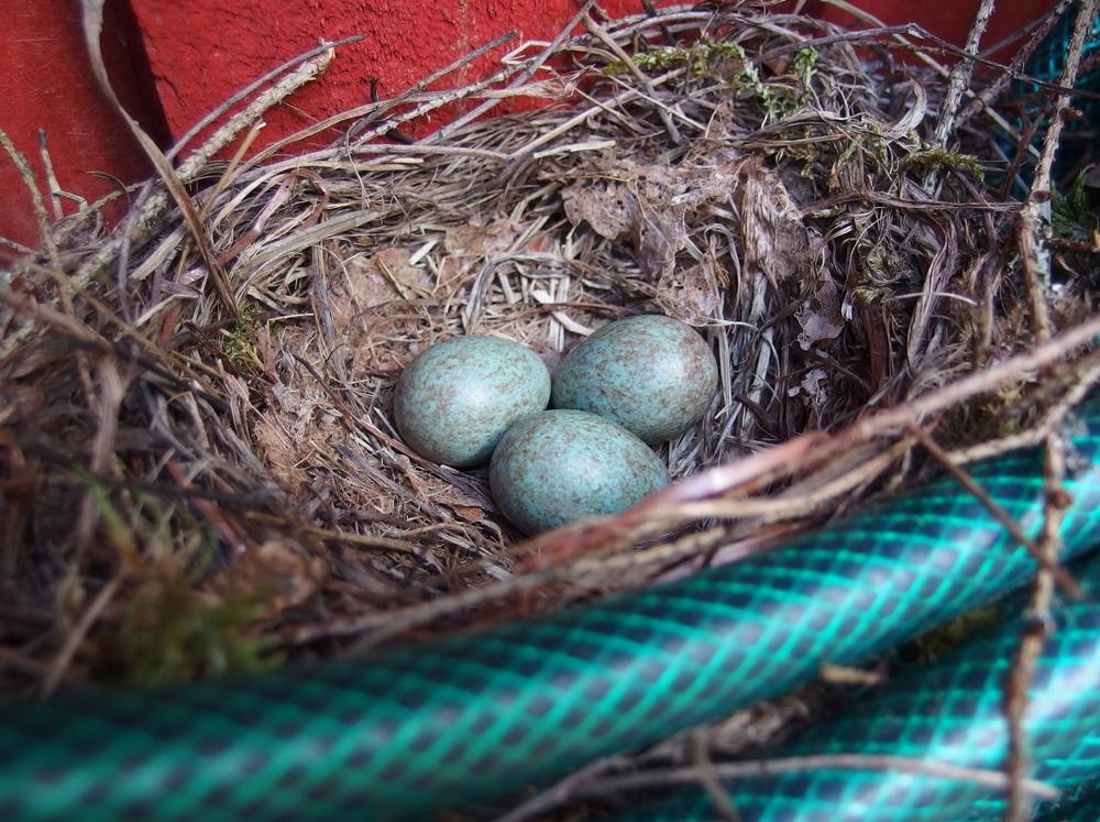 Mustarastaan pesään hylkäämät munat (mökkinaapurien rakennuksen seinustalla)