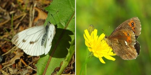 Kesän viimeisiä päiväperhosia (kaaliperhonen ja metsänokiperhonen)