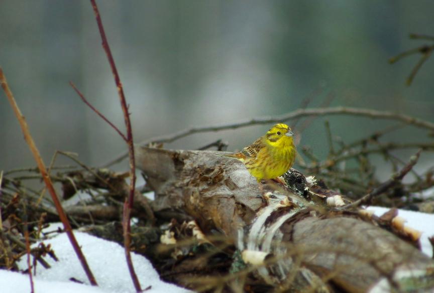 Keltasirkku