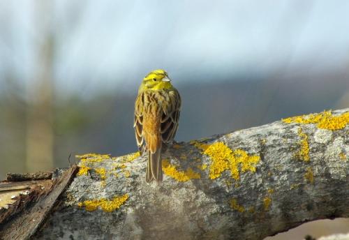 Keltasirkku antoi uusia kuvansa seuraavana päivänä: paremmassa valossa, täsmälleen samalla paikalla!