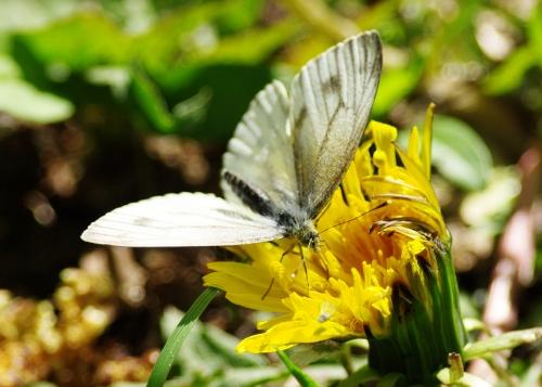 Lanttuperhonen