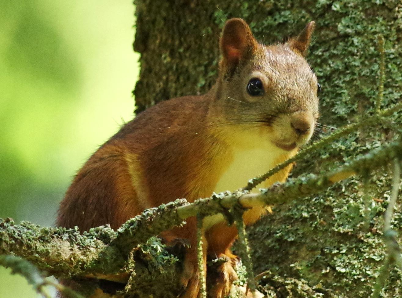 Pihan oravakaveri