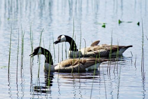 Kanadanhanhet – järven pysyvät asukkaat laulujoutsenten estelyistä huolimatta.