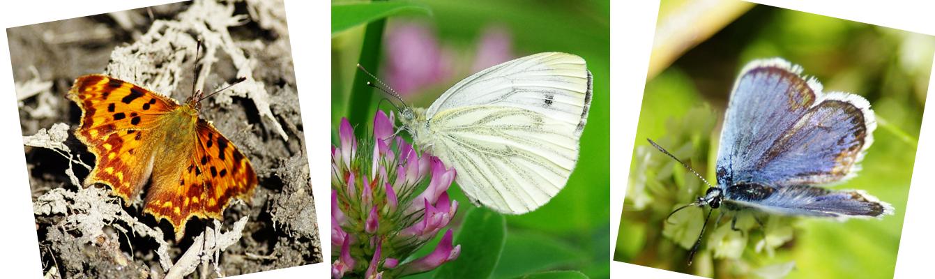 Heinäkuun perhosia mökkimme alueella.