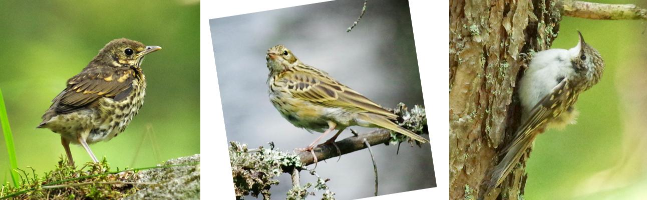 Heinäkuun lintuja mökkimme pihapiirissä: rastaan poikanen, metsäkirvinen ja puukiipijän poikanen