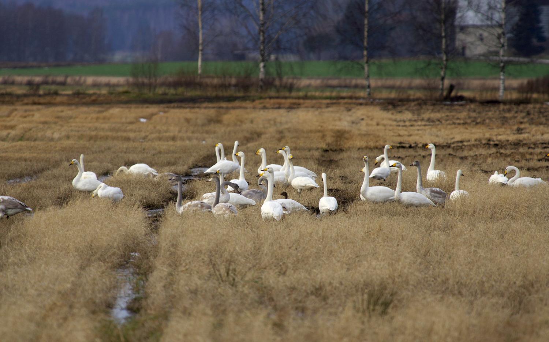 Marras-joulukuun taitteessa laulujoutsenet vielä viipyilivät Etelä-Suomen pelloilla ja sulissa.